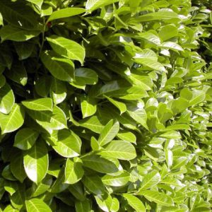 laurier-palme-rotundifolia